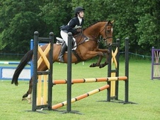 Gorgeous 15: 3HH Bay Gelding