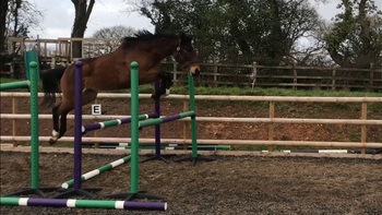 Showjumping / Eventer Potential, unspoilt project, Irish Sports horse