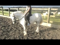 Quite Dapple Grey Pony 10.1hh
