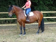 15.3hh Stunning Family HW Draught Confidence Giving Cob