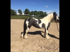 13. 2 Coloured Cob for Sale