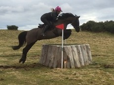 14.1 8 Year old Gelding For Sale