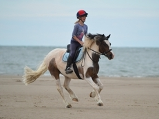 Tonto 13.1 hh coloured cob gelding 14 years old