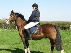 Beautiful, fun 14. 2 gelding for sale