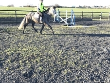 Dapple Registered Grey Connemara Gelding