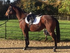 6 year old 15hh TB bright bay mare