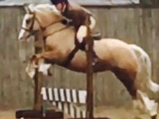 Palomino welsh section c mare