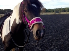 15. 1h 6yrs V pretty tri-coloured Sports Mare for share. Holt, No...