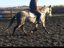 Registered Connemara Dapple Grey Mare