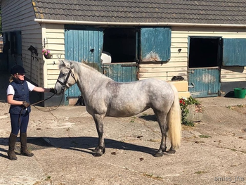 ***Pretty Reg.Highland Pony Mare***