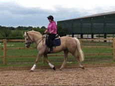 15.3hh Welsh Section D Palomino mare