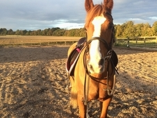 14 hand chestnut mare 11 years old