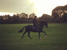 16. 1hh Irish sport horse for part loan