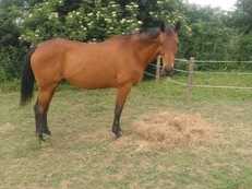 16.1hh Thoroughbred Broodmare for sale.