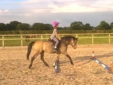 Stunning section B gelding