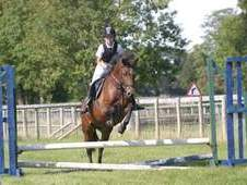 14. 1hh New Forest Mare