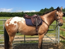 Well Bred AHPC registered Appaloosa Gelding LHC 146 (14. 2)