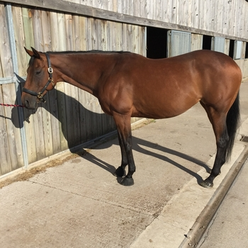 Beautiful 15.3hh Thoroughbred Bay Mare 11yrs