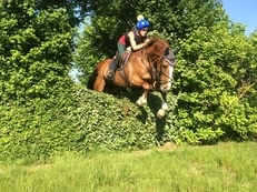 stunning irish gelding