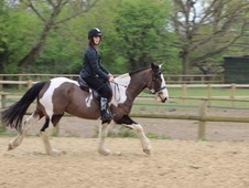 15. 2 coloured ISH x gelding for sale, 8 years old.