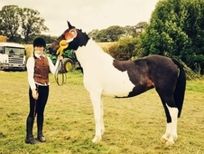 Quality SHP Aberaeron Cariad Kentucky. Welsh partbred registered ...