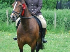14.2 Fully Registered Welsh Section D Mare