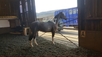 15.1/2 5yr old coloured gelding project