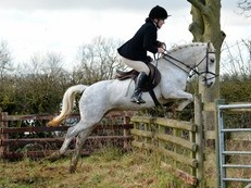 Ultimate13.2hh 9yo  family friend pony club/hunter/ allrounder