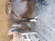 For sale beutiful 13.2 section c mare