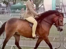 Show Quality Exmoor Mare