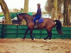 Warmblood All rounder for sale