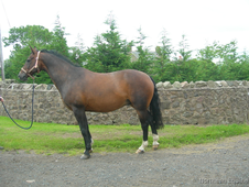Horses wanted, Selling, Schooling Breaking Livery