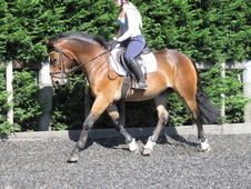 Superb irish draught riding club horse.
