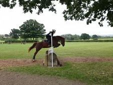 Lovely 14.2hh chestnut mare