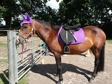 14hh Bay Mare For Sale
