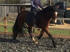 14. 2hh Welsh type mate rising 4