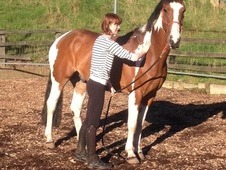 15. 1 stunning coloured gelding