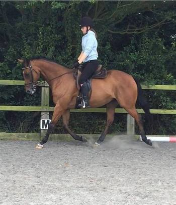 15.1 hh  Bay mare for Sale TB x