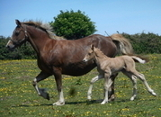 STUNNING PALOMINO WELSH PART-BRED ( 7/8 WELSH D ) COLT WITH GREAT POTENTIAL