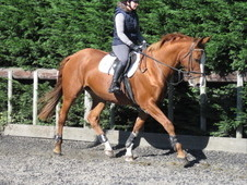 TOP CLASS RIDING CLUB HORSE/HUNTER