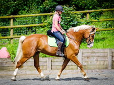 16. 1 6 year old Welsh Section D Flaxen mane and tailed chestnut ...