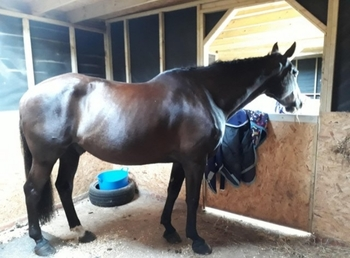 16.3hh ISH for part share