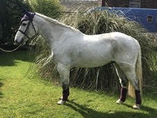 'Shas Prince' 14. 2hh Grey Registered Connemara Gelding