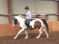 14.3h dressage pony potential