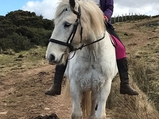 Adorable, lovely temperament 10 yr, 15hh, gypsy cob gelding
