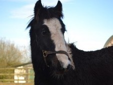 Lluest Jon mini cob 2yo from charity