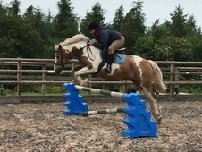 Chunky 14. 3HH mare