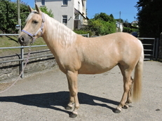 3 Year Old Registered Quarter Horse X Mare