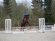 All Rounder horse - 16. 2hh Bay Gelding - 11 yrs
