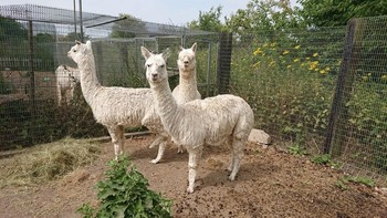 LAST FEW Lovely Alpacas on SALE due to stud dispersal 5-7 yo only £350